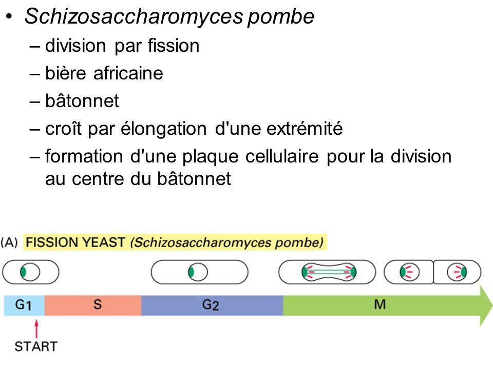 20 Fig 17-4 Schizosaccharomyces pombe –division par fission –bière africaine –bâtonnet –croît par élongation d'une extrémité –formation d'une plaque c