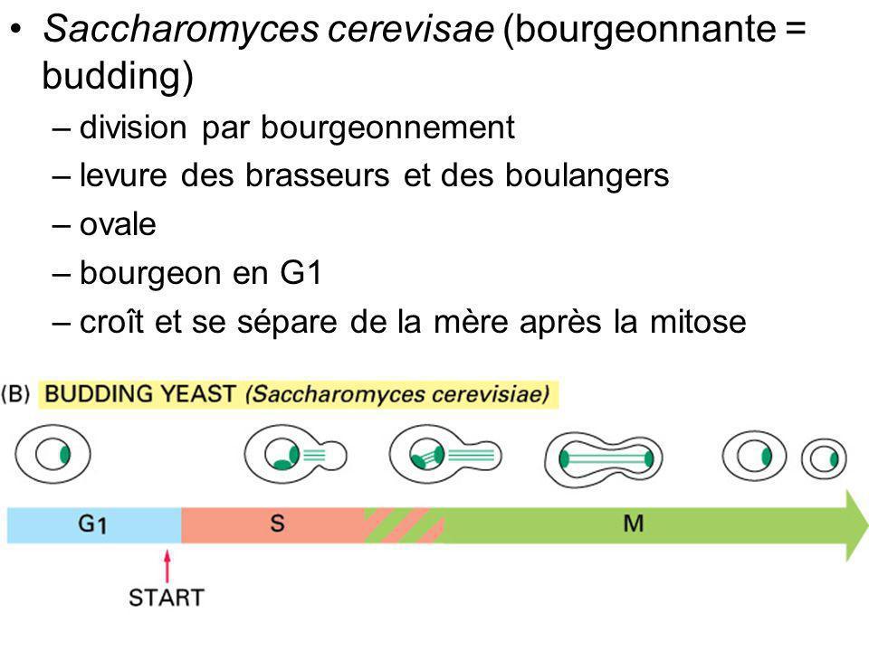 21 Fig 17-4 Saccharomyces cerevisae (bourgeonnante = budding) –division par bourgeonnement –levure des brasseurs et des boulangers –ovale –bourgeon en