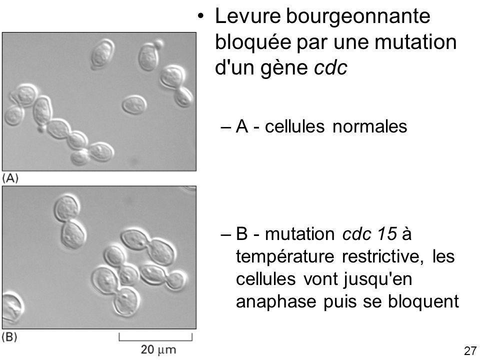 27 Fig 17-6 Levure bourgeonnante bloquée par une mutation d'un gène cdc –A - cellules normales –B - mutation cdc 15 à température restrictive, les cel