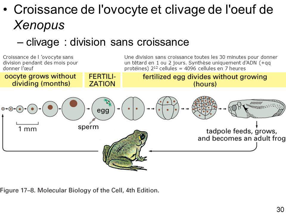 30 Fig 17-8 Croissance de l'ovocyte et clivage de l'oeuf de Xenopus –clivage : division sans croissance Croissance de l ovocyte sans division pendant