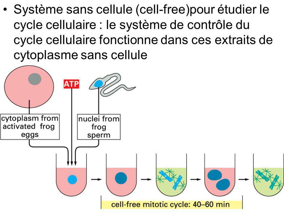 33 Fig 17-9 Système sans cellule (cell-free)pour étudier le cycle cellulaire : le système de contrôle du cycle cellulaire fonctionne dans ces extraits
