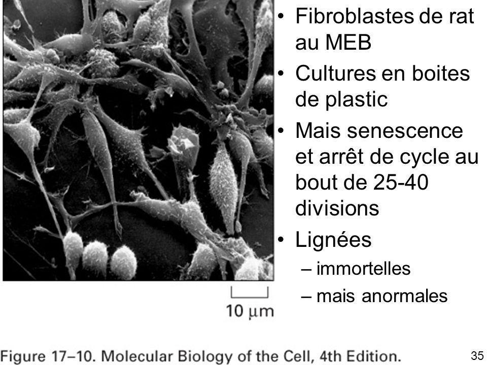 35 Fig 17-10 Fibroblastes de rat au MEB Cultures en boites de plastic Mais senescence et arrêt de cycle au bout de 25-40 divisions Lignées –immortelle
