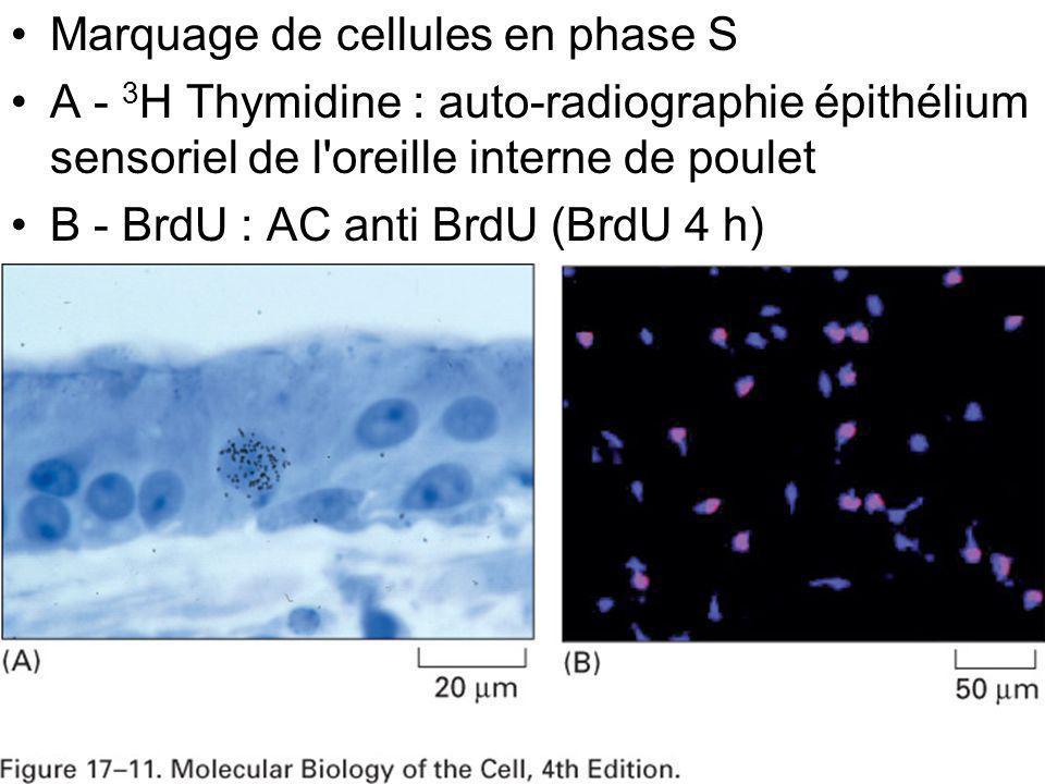 37 Fig 17-11 Marquage de cellules en phase S A - 3 H Thymidine : auto-radiographie épithélium sensoriel de l'oreille interne de poulet B - BrdU : AC a