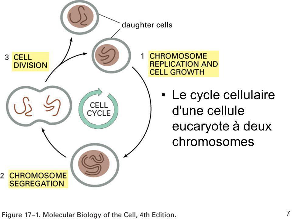 7 Fig 17-1 Le cycle cellulaire d'une cellule eucaryote à deux chromosomes