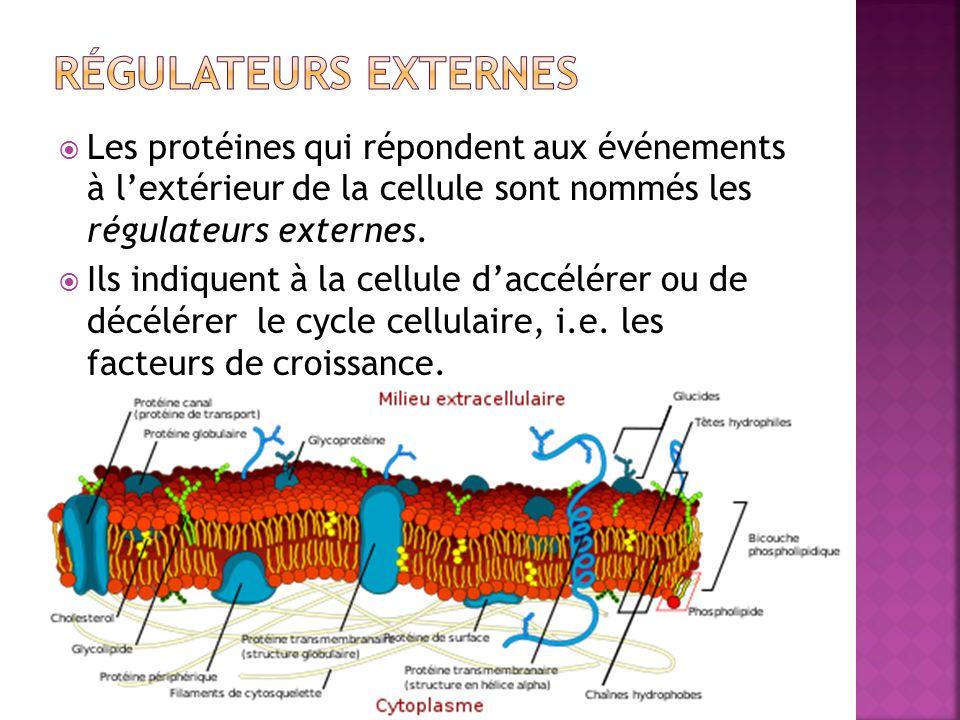 Les protéines qui répondent aux événements à lextérieur de la cellule sont nommés les régulateurs externes. Ils indiquent à la cellule daccélérer ou d
