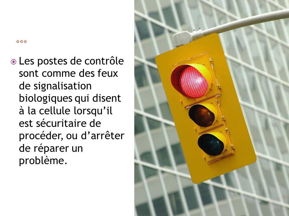 Les postes de contrôle sont comme des feux de signalisation biologiques qui disent à la cellule lorsquil est sécuritaire de procéder, ou darrêter de r