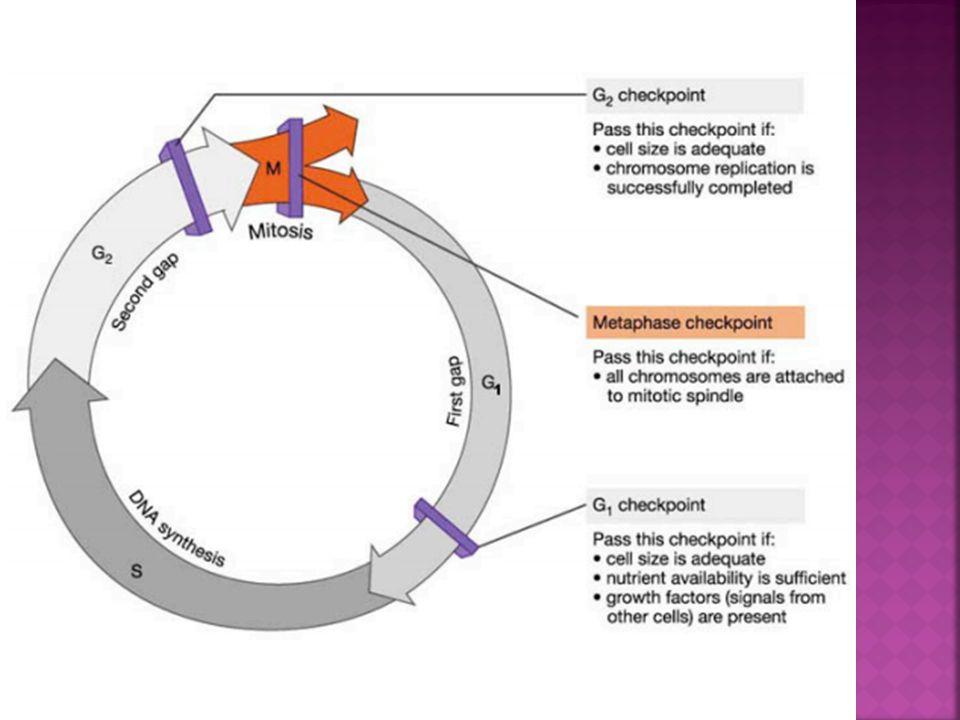 Dans les cellules cancéreuses, certains ou tous les postes de contrôles habituels échouent, ce qui mène à une prolifération de cellules anormales.