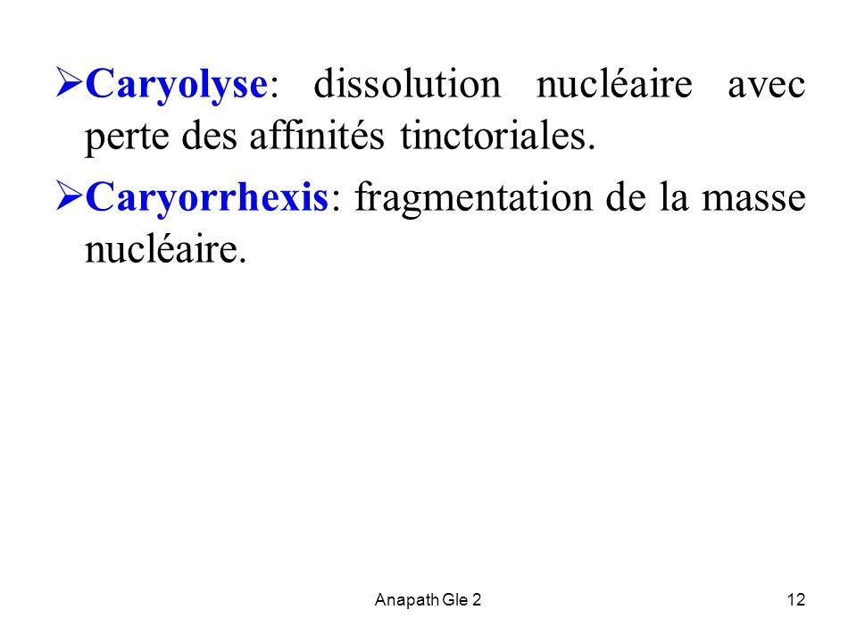 Anapath Gle 212 Caryolyse: dissolution nucléaire avec perte des affinités tinctoriales. Caryorrhexis: fragmentation de la masse nucléaire.