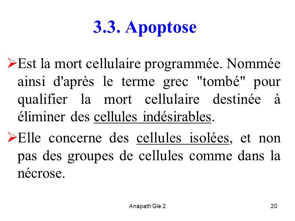 Anapath Gle 220 3.3. Apoptose Est la mort cellulaire programmée. Nommée ainsi d'après le terme grec