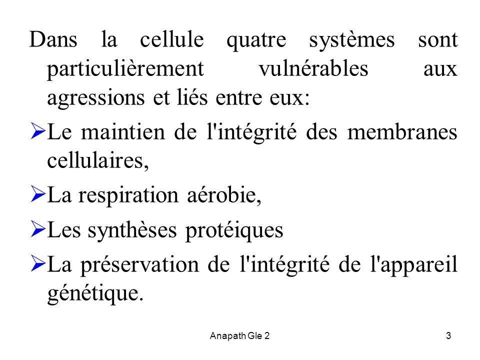 Anapath Gle 23 Dans la cellule quatre systèmes sont particulièrement vulnérables aux agressions et liés entre eux: Le maintien de l'intégrité des memb