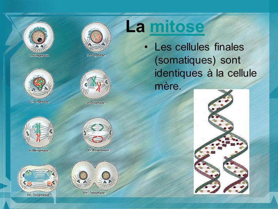 La mitosemitose Les cellules finales (somatiques) sont identiques à la cellule mère.