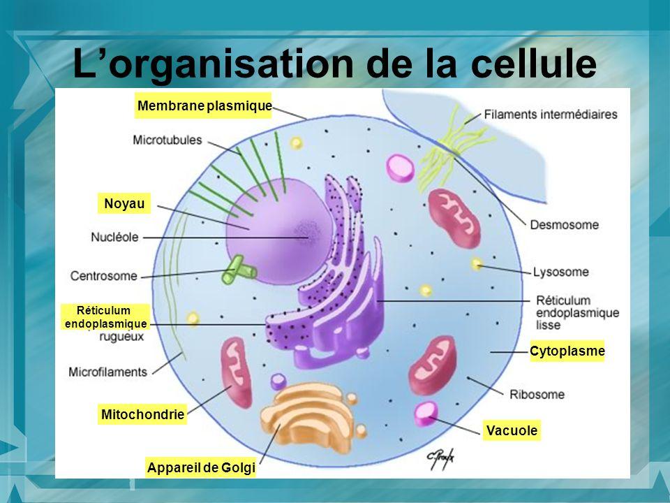 Lorganisation de la cellule Mitochondrie Noyau Membrane plasmique Cytoplasme Appareil de Golgi Vacuole Réticulum endoplasmique