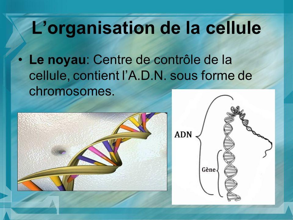 Lorganisation de la cellule Le noyau: Centre de contrôle de la cellule, contient lA.D.N. sous forme de chromosomes.