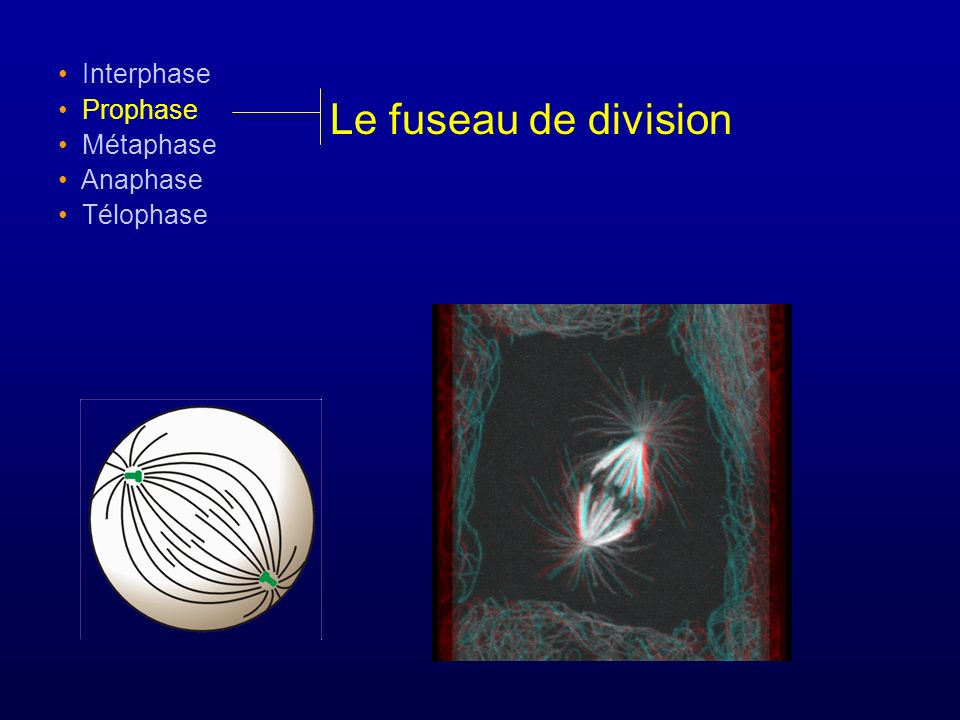 Interphase Prophase Métaphase Anaphase Télophase Le fuseau de division