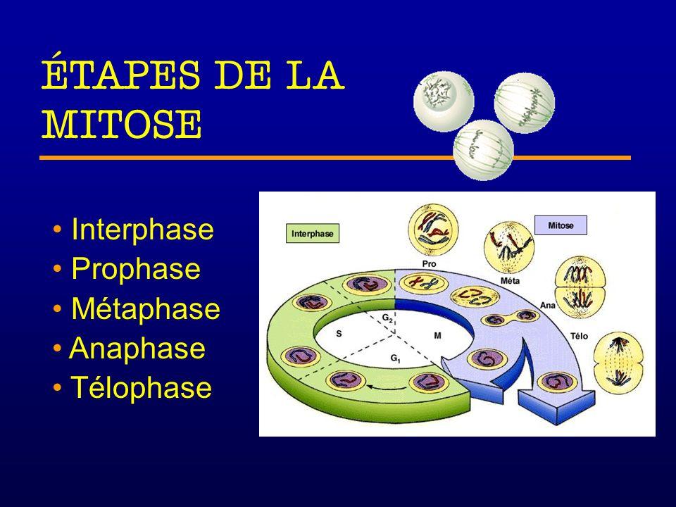 Interphase Prophase Métaphase Anaphase Télophase Phase G 1 Croissance Phase S Croissance Réplication de l ADN Phase G 2 Croissance Derniers préparatifs avant la division