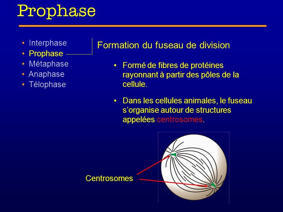 Prophase Interphase Prophase Métaphase Anaphase Télophase Formation du fuseau de division Centrosome = petite structure formée tubules de protéines située près du noyau Centrosome