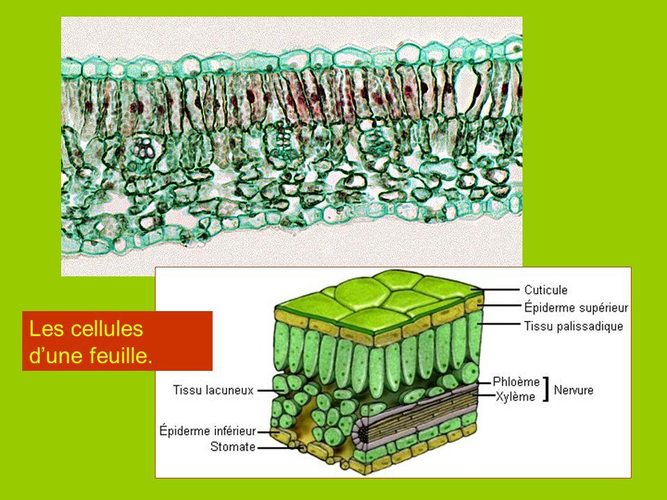 Les cellules du système nerveux. Neurones
