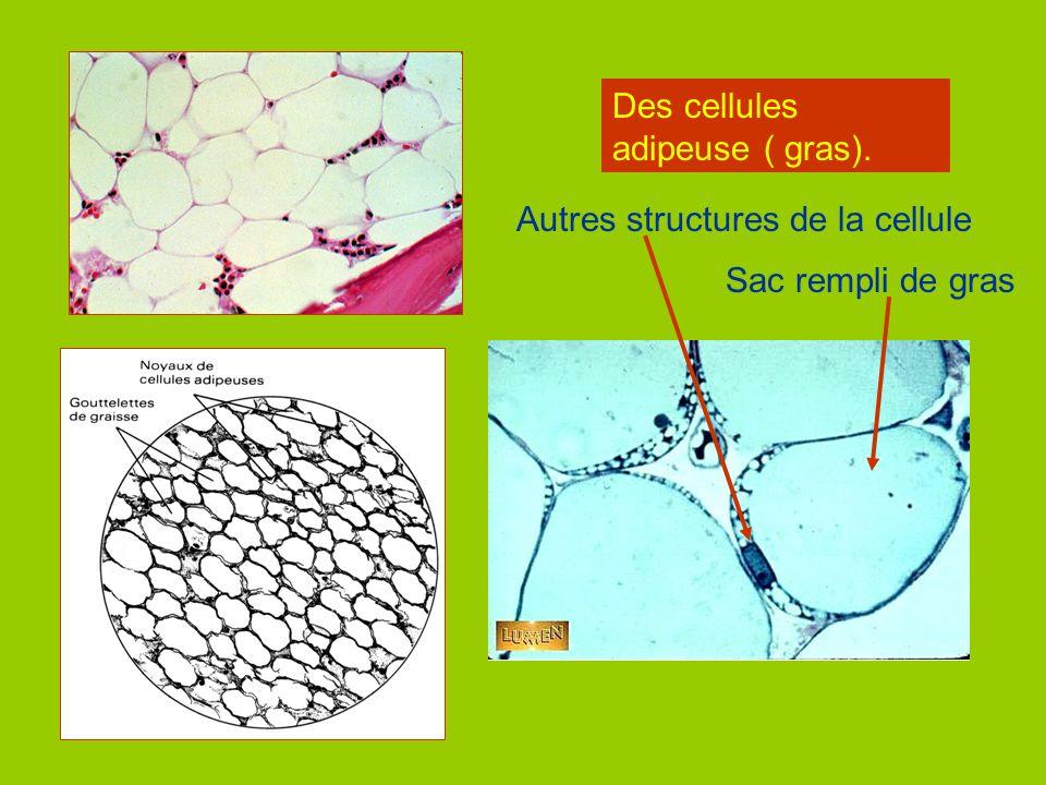 Les cellules dune feuille.