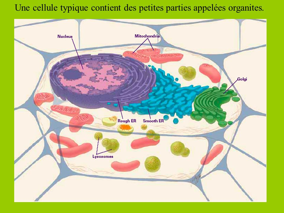 Procaryote vs Eucaryote Les cellules peuvent être … -Procaryote: Elle nont pas de noyau ni dorganites entourés de membrane.