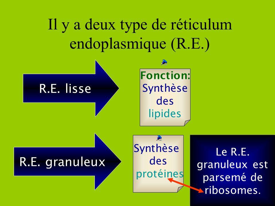Fonction: acheminer les substances dune partie de la cellule à une autre Réticulum endoplasmique