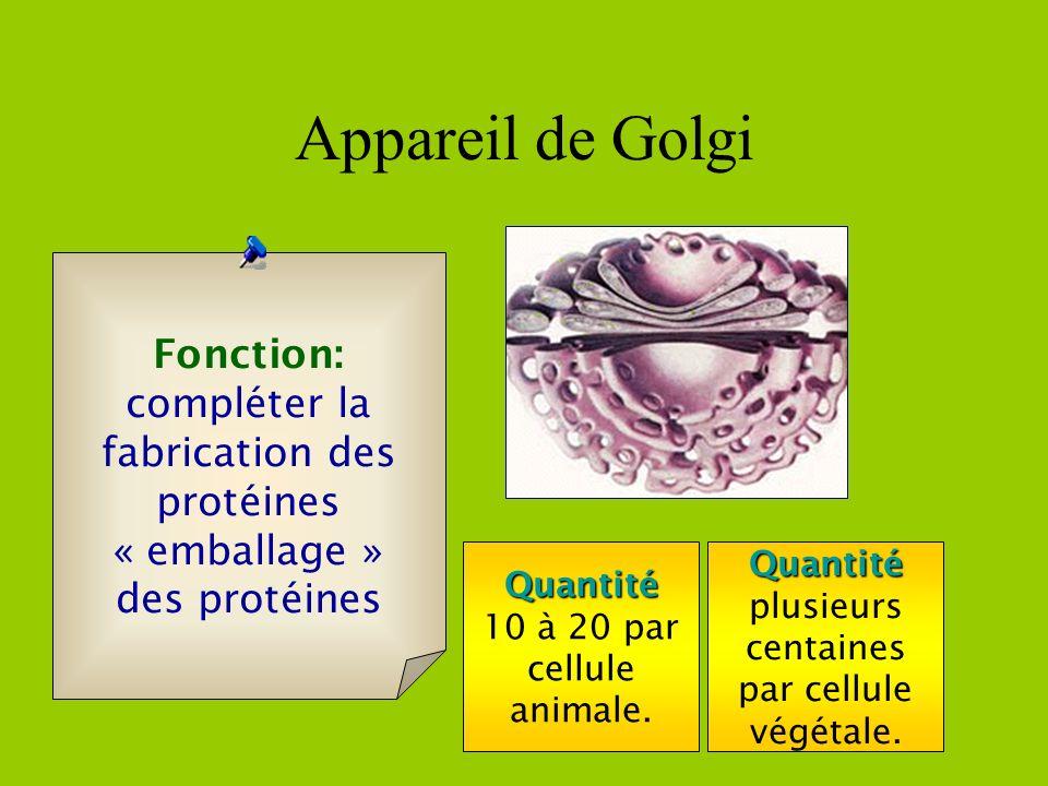 Il y a deux type de réticulum endoplasmique (R.E.) R.E. lisse Fonction: Synthèse des lipides R.E. granuleux Synthèse des protéines Le R.E. granuleux e