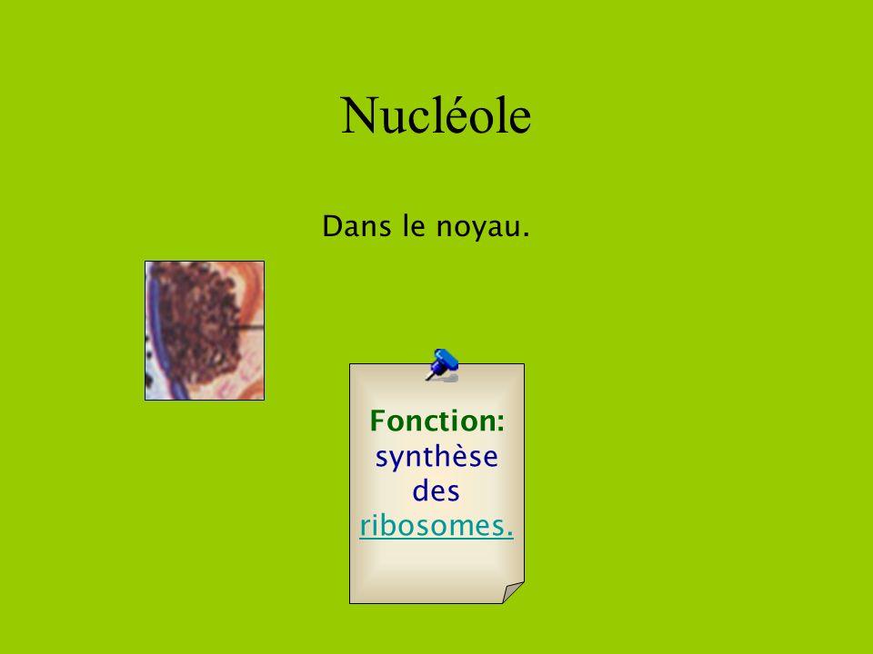Lysosomes 0.05 à 0.5 microns Quantité Une quarantaine par cellule. Fonction: Destruction de substances.