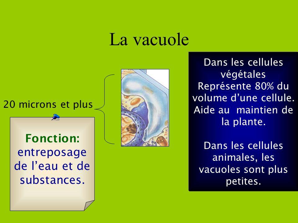 La membrane cellulaire et la paroi cellulaire Fonction de la membrane: Protège la cellule et laisse entrer ou sortir certaines substances.