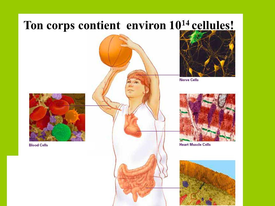 Ton corps contient environ 10 14 cellules!