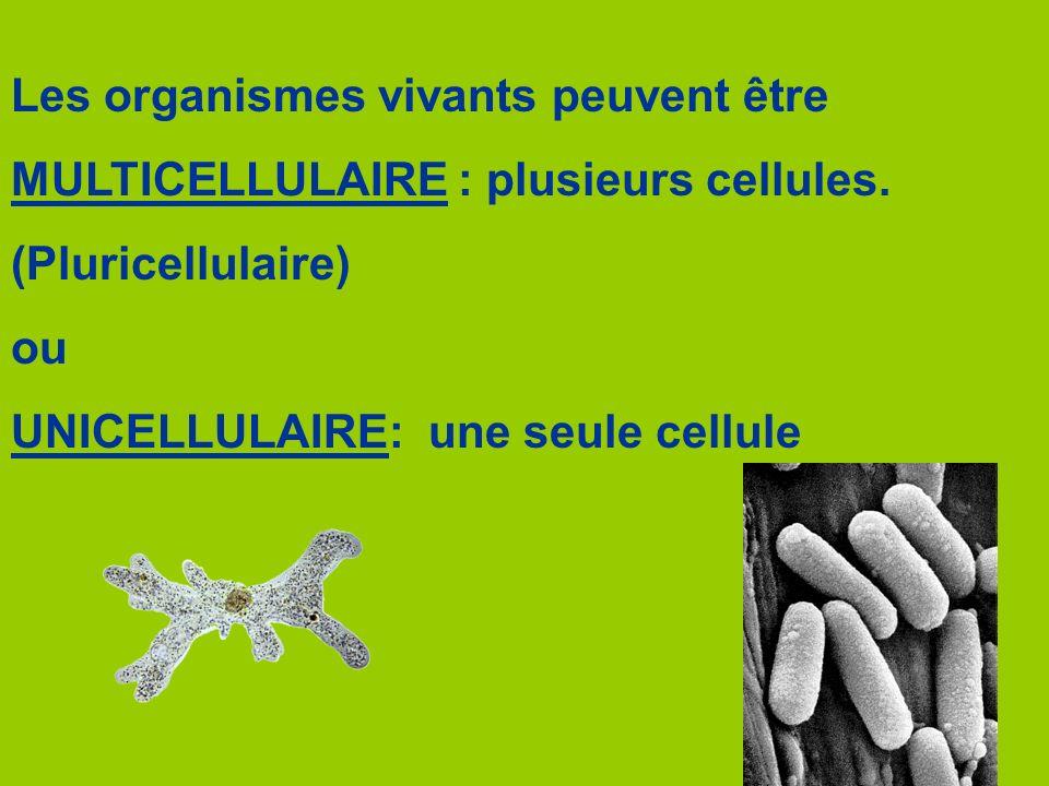 Les ribosomes Fonction: synthèse des protéines Protéine 25 nm Associés au réticulum endoplasmique Associés au réticulum endoplasmique (granuleux) Quantité des millions par cellule