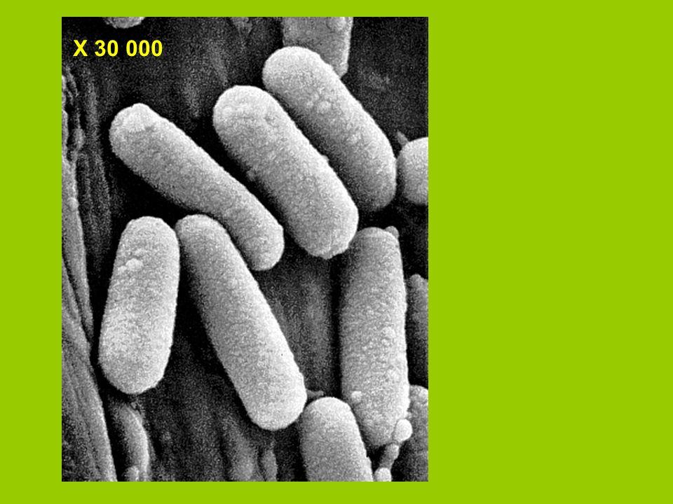 Différences entre cellules végétales et animales 1- Les chloroplastes sont seulement présent dans les cellules végétales.