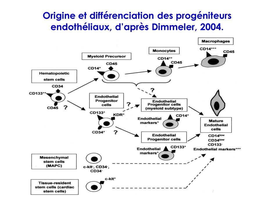 Origine et différenciation des progéniteurs endothéliaux, daprès Dimmeler, 2004.