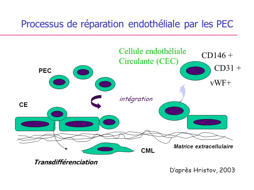 Processus de réparation endothéliale par les PEC intégration PEC CE CML Transdifférenciation Daprès Hristov, 2003 Matrice extracellulaire Cellule endothéliale Circulante (CEC) CD146 + CD31 + vWF+