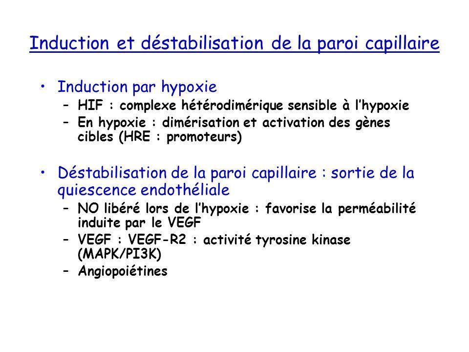Induction et déstabilisation de la paroi capillaire Induction par hypoxie –HIF : complexe hétérodimérique sensible à lhypoxie –En hypoxie : dimérisati