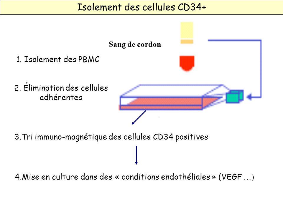 Sang de cordon 1. Isolement des PBMC 3.Tri immuno-magnétique des cellules CD34 positives 2. Élimination des cellules adhérentes 4.Mise en culture dans