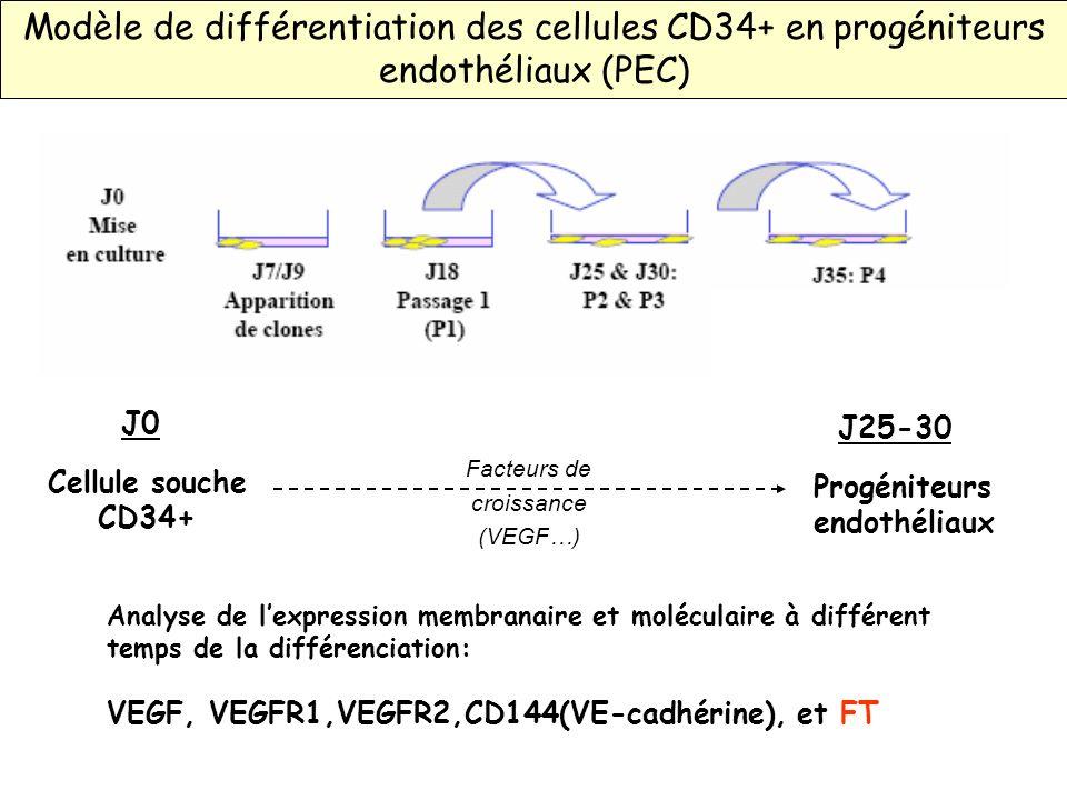 Analyse de lexpression membranaire et moléculaire à différent temps de la différenciation: VEGF, VEGFR1,VEGFR2,CD144(VE-cadhérine), et FT Modèle de di