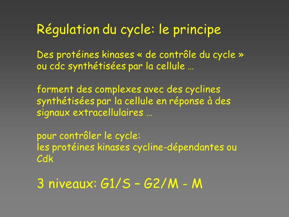 Régulation du cycle: le principe Des protéines kinases « de contrôle du cycle » ou cdc synthétisées par la cellule … forment des complexes avec des cy
