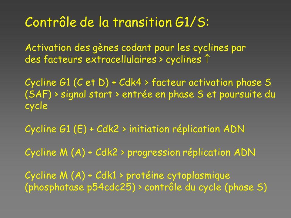 Contrôle de la transition G1/S: Activation des gènes codant pour les cyclines par des facteurs extracellulaires > cyclines Cycline G1 (C et D) + Cdk4