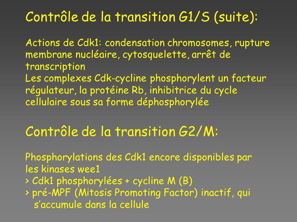 Contrôle de la transition G1/S (suite): Actions de Cdk1: condensation chromosomes, rupture membrane nucléaire, cytosquelette, arrêt de transcription L