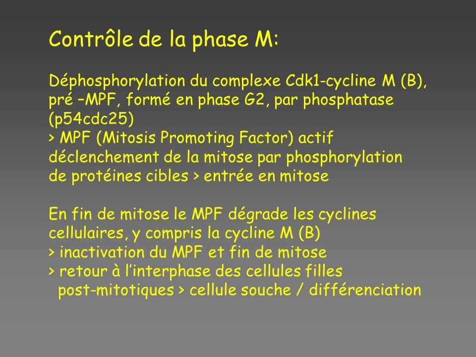 Contrôle de la phase M: Déphosphorylation du complexe Cdk1-cycline M (B), pré –MPF, formé en phase G2, par phosphatase (p54cdc25) > MPF (Mitosis Promo
