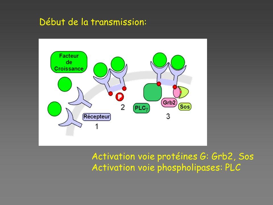 Début de la transmission: Activation voie protéines G: Grb2, Sos Activation voie phospholipases: PLC