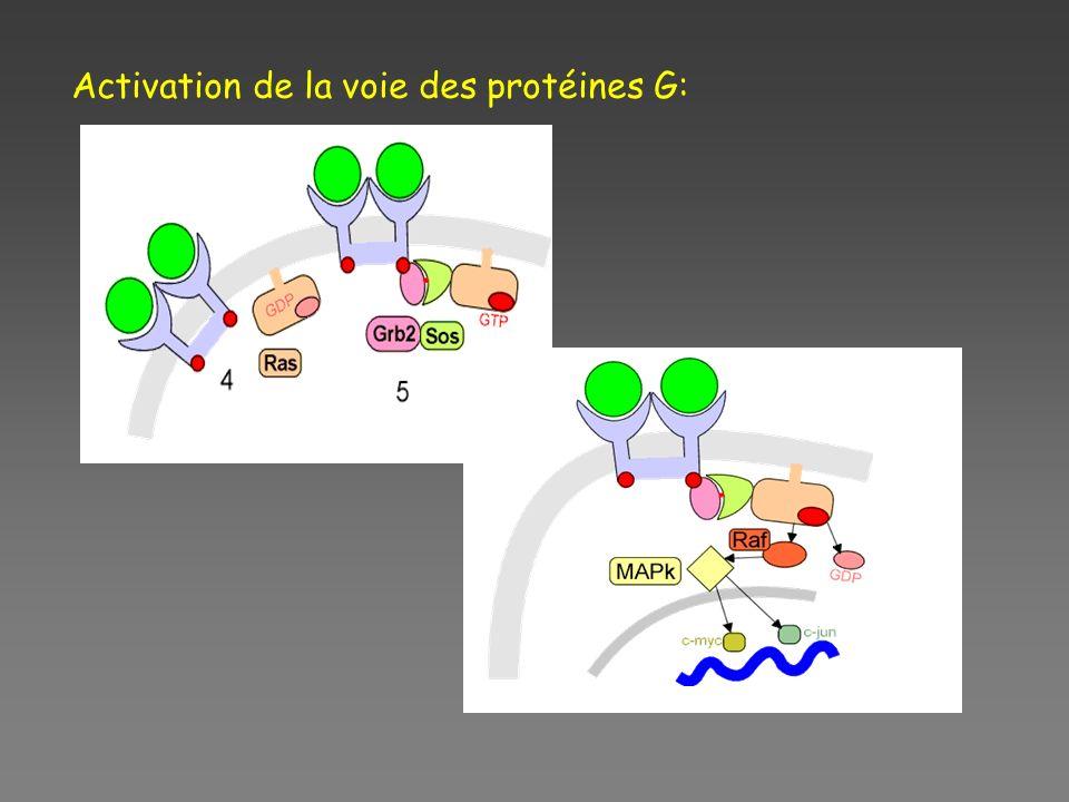 Activation de la voie des protéines G: