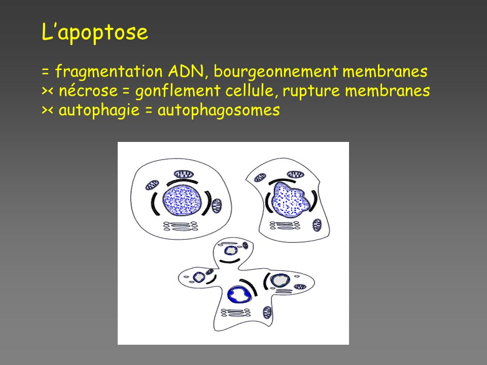 Lapoptose = fragmentation ADN, bourgeonnement membranes >< nécrose = gonflement cellule, rupture membranes >< autophagie = autophagosomes