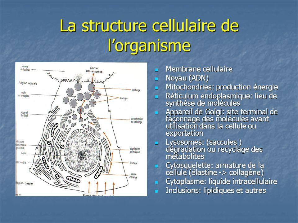 La structure cellulaire de lorganisme Membrane cellulaire Membrane cellulaire Noyau (ADN) Noyau (ADN) Mitochondries: production énergie Mitochondries: production énergie Réticulum endoplasmique: lieu de synthèse de molécules Réticulum endoplasmique: lieu de synthèse de molécules Appareil de Golgi: site terminal de façonnage des molécules avant utilisation dans la cellule ou exportation Appareil de Golgi: site terminal de façonnage des molécules avant utilisation dans la cellule ou exportation Lysosomes: (saccules ) dégradation ou recyclage des métabolites Lysosomes: (saccules ) dégradation ou recyclage des métabolites Cytosquelette: armature de la cellule (élastine -> collagène) Cytosquelette: armature de la cellule (élastine -> collagène) Cytoplasme: liquide intracellulaire Cytoplasme: liquide intracellulaire Inclusions: lipidiques et autres Inclusions: lipidiques et autres