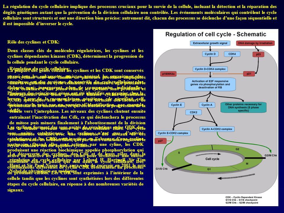 La régulation du cycle cellulaire implique des processus cruciaux pour la survie de la cellule, incluant la détection et la réparation des dégâts géné