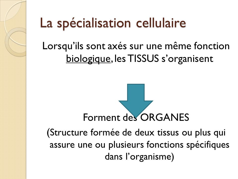 Lorsquils sont axés sur une même fonction biologique, les TISSUS sorganisent Forment des ORGANES ( Structure formée de deux tissus ou plus qui assure