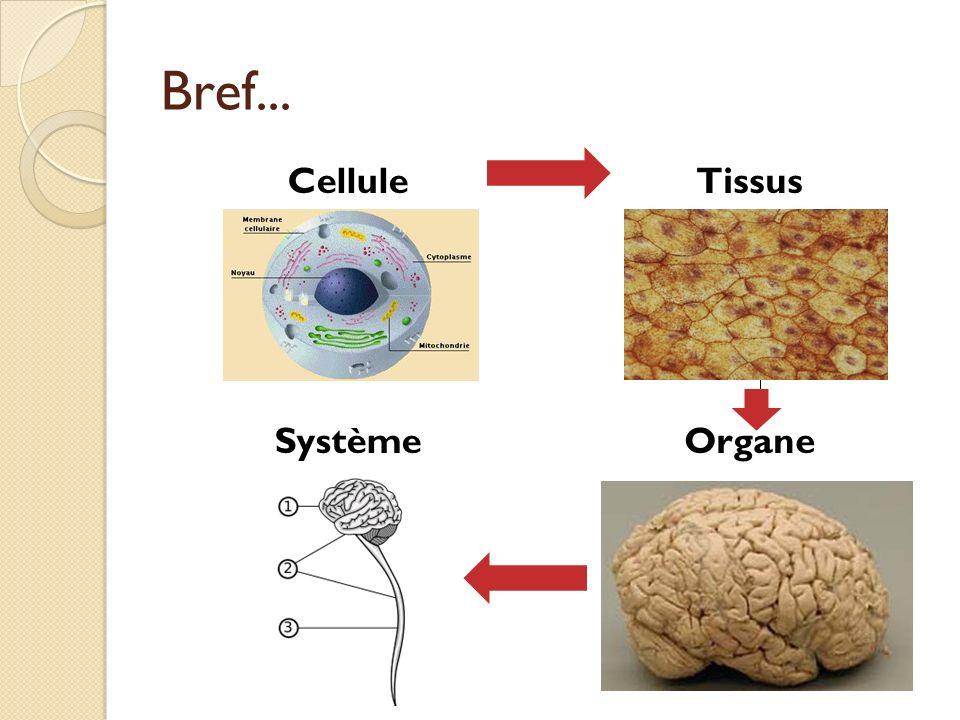 Bref... CelluleTissus SystèmeOrgane