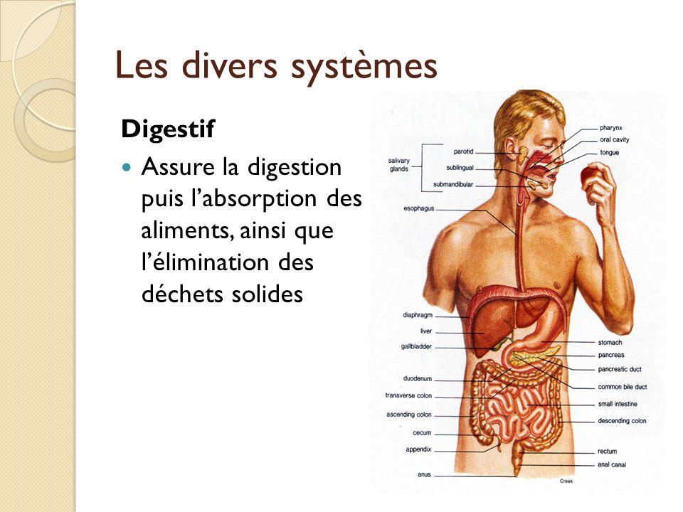 Les divers systèmes Digestif Assure la digestion puis labsorption des aliments, ainsi que lélimination des déchets solides