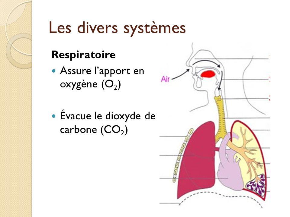Les divers systèmes Respiratoire Assure lapport en oxygène (O 2 ) Évacue le dioxyde de carbone (CO 2 )