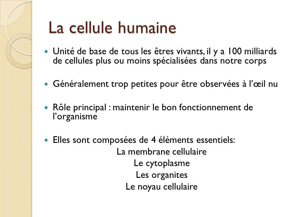 La cellule humaine Noyau : sphère dense qui contient et protège linformation génétique dun individu Cytoplasme : milieu gélatineux interne de la cellule, où baignent les organites