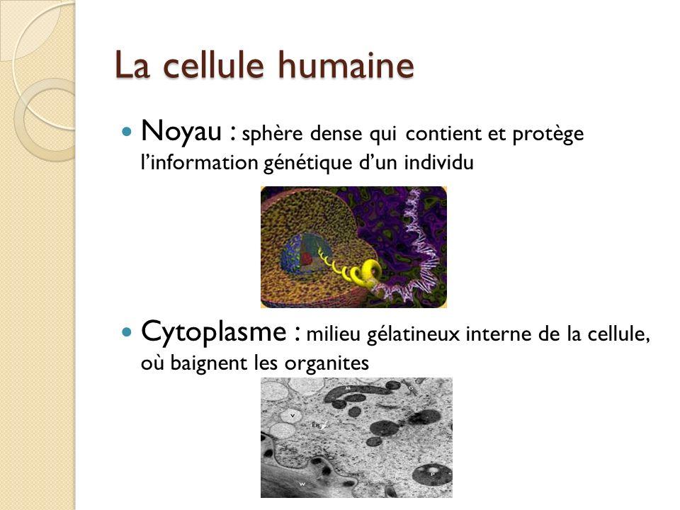 La cellule humaine Noyau : sphère dense qui contient et protège linformation génétique dun individu Cytoplasme : milieu gélatineux interne de la cellu